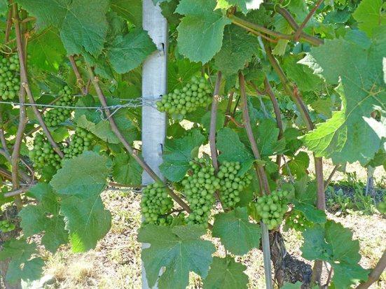Nous avons regardé pousser la vigne tout l'été